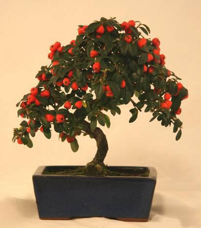 Бонсай - деревце в подарок