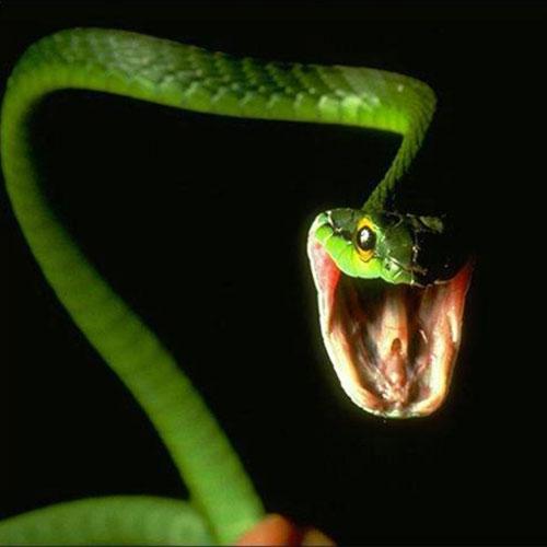 Зеленая от зависти змея