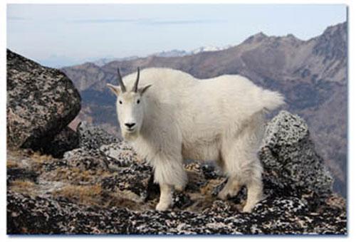Коза с гималайских гор