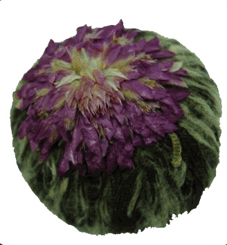 цветок чай