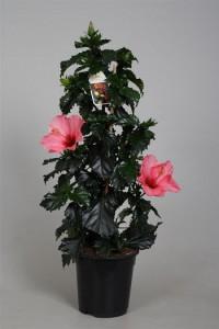 hibiscus-_rosalie_-piramide-_17_70